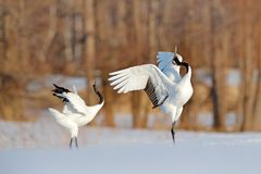 Snow dance in nature. Wildlife scene from snowy nature. Cold winter. Snowy. Snowfall two Red-crowned crane in snow meadow, with sn Stock Photos