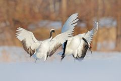 Snow dance in nature. Wildlife scene from snowy nature. Cold winter. Pair of two Red-crowned crane in snow meadow, with open wings stock photo