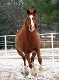 Snow Day. Arabian horse Galloping in the snow Royalty Free Stock Photos