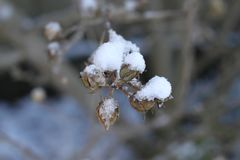 Snow on dead fruit and branches royalty free stock image