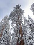 Snow decorates giant Sequoia trees Royalty Free Stock Photos