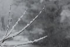 Snow delicately settled on thin twigs, background soft Royalty Free Stock Photography
