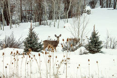Snow Doe. Young Doe in snow covered field royalty free stock photo