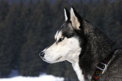 Snow dog. Nice dog in the snow Royalty Free Stock Images