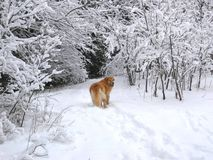 Snow dog. A golden retriever wandering ahead on a snowy day Royalty Free Stock Image