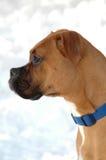 Snow Dog Stock Photography