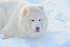 Snow dog Royalty Free Stock Photography