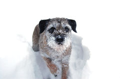 Snow dog. Border terrier playing in the snow Royalty Free Stock Photography