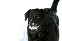 Snow Dog. Black labrador dog covered in snow Royalty Free Stock Photography