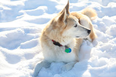 Snow Dog Royalty Free Stock Images