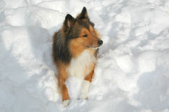 Snow dog 3 Stock Photo