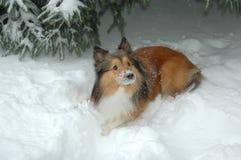 Snow dog 4 Royalty Free Stock Photos