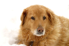 Snow Dog. Golden Labrador Retriever mix sitting in the snow - sad look Stock Image