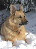 Snow Dog. German Shepherd relaxing in the fresh winter snow royalty free stock photos