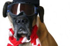Snow Dog. An English Mastiff dog in ski goggles and a red and white scarf ready for snow and Christmas Stock Photo
