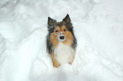 Snow dog 8 stock images