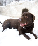 Snow dog Stock Photography