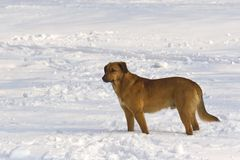 Snow dog. Yellow  dog standing in deep snow and looking away Royalty Free Stock Photos