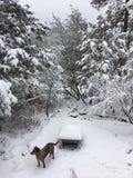 Snow Dog Royalty Free Stock Image