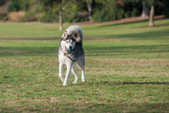 Snow dog excited at park. Black and white Siberian Husky dog smiling while running across grass at park royalty free stock image