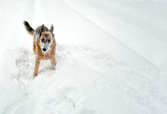 Snow Dog. A dog with snow frozen on his face who wants to play Royalty Free Stock Photos