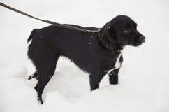 The snow dog leash Stock Photo