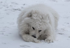 Snow Dog. The dog that licks his wounds royalty free stock photo