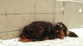 Snow dog Stock Image