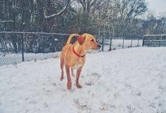 Snow Dog Stock Photos