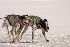 Snow dogs Royalty Free Stock Photo