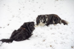Snow Dogs Royalty Free Stock Photos