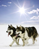 Snow dogs. Husky dogs running in the snow Stock Photos
