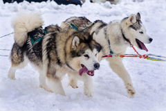 Snow dogs. Husky dogs Malamutes in harness Royalty Free Stock Photo
