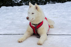 Snow dogs. Husky dogs Malamutes in harness in winter Royalty Free Stock Image