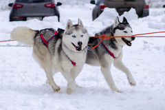 Snow dogs. Husky dogs Malamutes in harness in winter Royalty Free Stock Photo