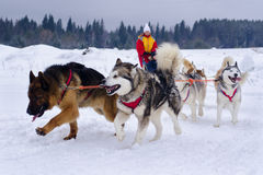 Snow dogs. Husky dogs Malamutes in harness in winter Stock Photos
