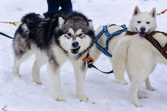Snow dogs. Husky dogs Malamutes in harness in winter Stock Images
