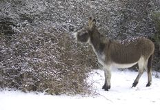 Snow donkey Stock Images