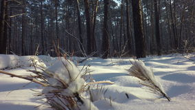 Snow drifts covered the sun in winter mixed forest. stock video