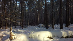 Snow drifts covered the sun in winter mixed forest. stock footage