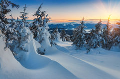 Snow drifts and firs Royalty Free Stock Images