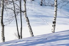 Snow drifts outlined after snowstorm in a natural birch forest with large shadows from trees illuminated by the sun,. Winter forest landscape Royalty Free Stock Photography