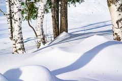 Snow drifts outlined after snowstorm in a natural birch forest with large shadows from trees illuminated by the sun,. Winter forest landscape Royalty Free Stock Photo