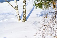 Snow drifts outlined after snowstorm in a natural birch forest with large shadows from trees illuminated by the sun,. Winter forest landscape Royalty Free Stock Images