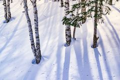 Snow drifts outlined after snowstorm in a natural birch forest with large shadows from trees illuminated by the sun,. Winter forest landscape Royalty Free Stock Photos