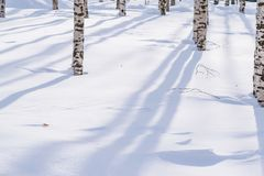 Snow drifts outlined after snowstorm in a natural birch forest with large shadows from trees illuminated by the sun,. Winter forest landscape Stock Photo