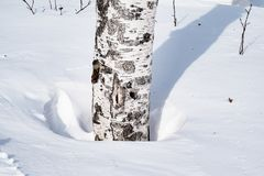 Snow drifts outlined after snowstorm in a natural birch forest with large shadows from trees illuminated by the sun,. Winter forest landscape Stock Photography