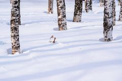 Snow drifts outlined after snowstorm in a natural birch forest with large shadows from trees illuminated by the sun,. Winter forest landscape Stock Photos
