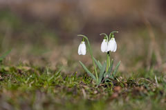 Free Snow Drop Royalty Free Stock Photography - 12813297