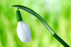 Snow-drop Stock Photos